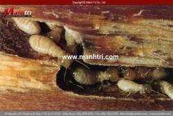 Sàn gỗ công nghiệp có bị mối mọt không