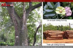 Tìm hiểu về sàn gỗ Giáng Hương