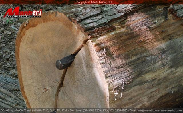 Gỗ sồi (Oak) là gì ?